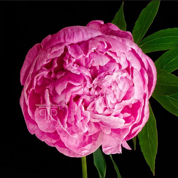Breathtaking pink peony blossom by Sarah Hollander