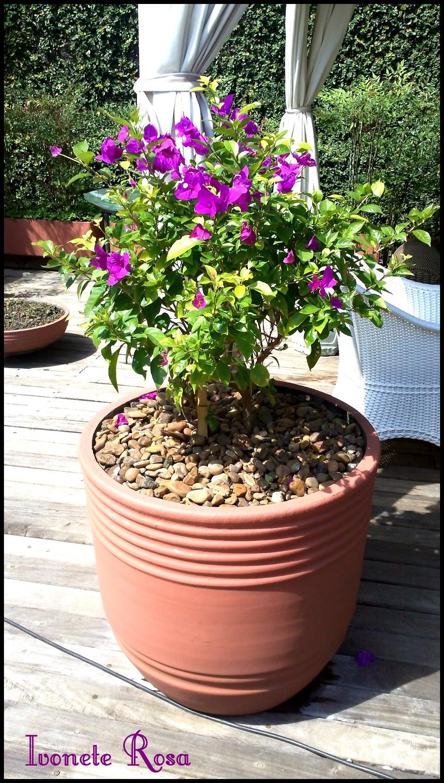 Ivonete rosa das plantas bougainville for Vaso piscina
