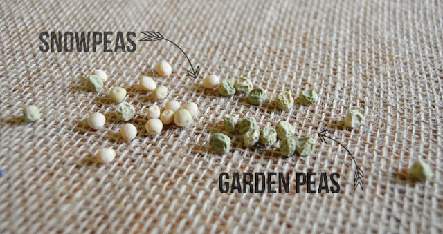 The Difference Between Snow Peas, Sweet Peas and Garden Peas by Amy Renea at A Nest for All Seasons