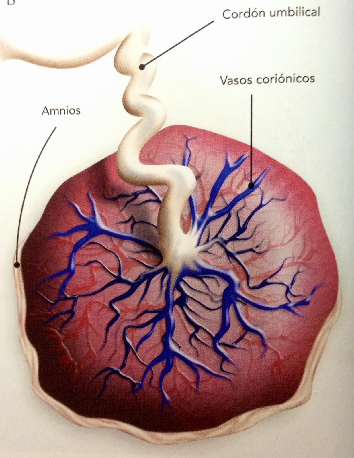 Embriología ENMH: Práctica 5 Anatomía de Placenta