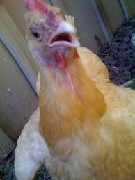 Simak Kelebihan Beternak Ayam Pedaging vs Ayam Petelur