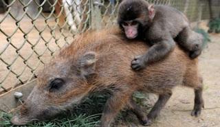 babi hutan dan kera
