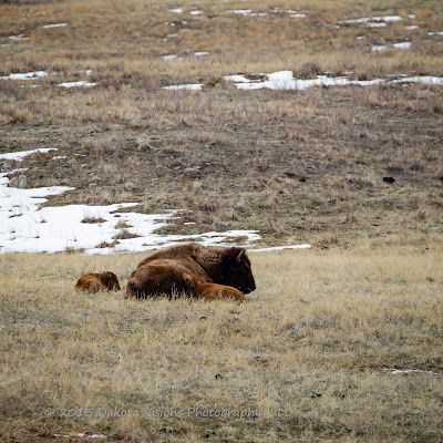 Baby Tatanka Part II: New born buffalo calves in Custer State Park by Dakota Visions Photography LLC