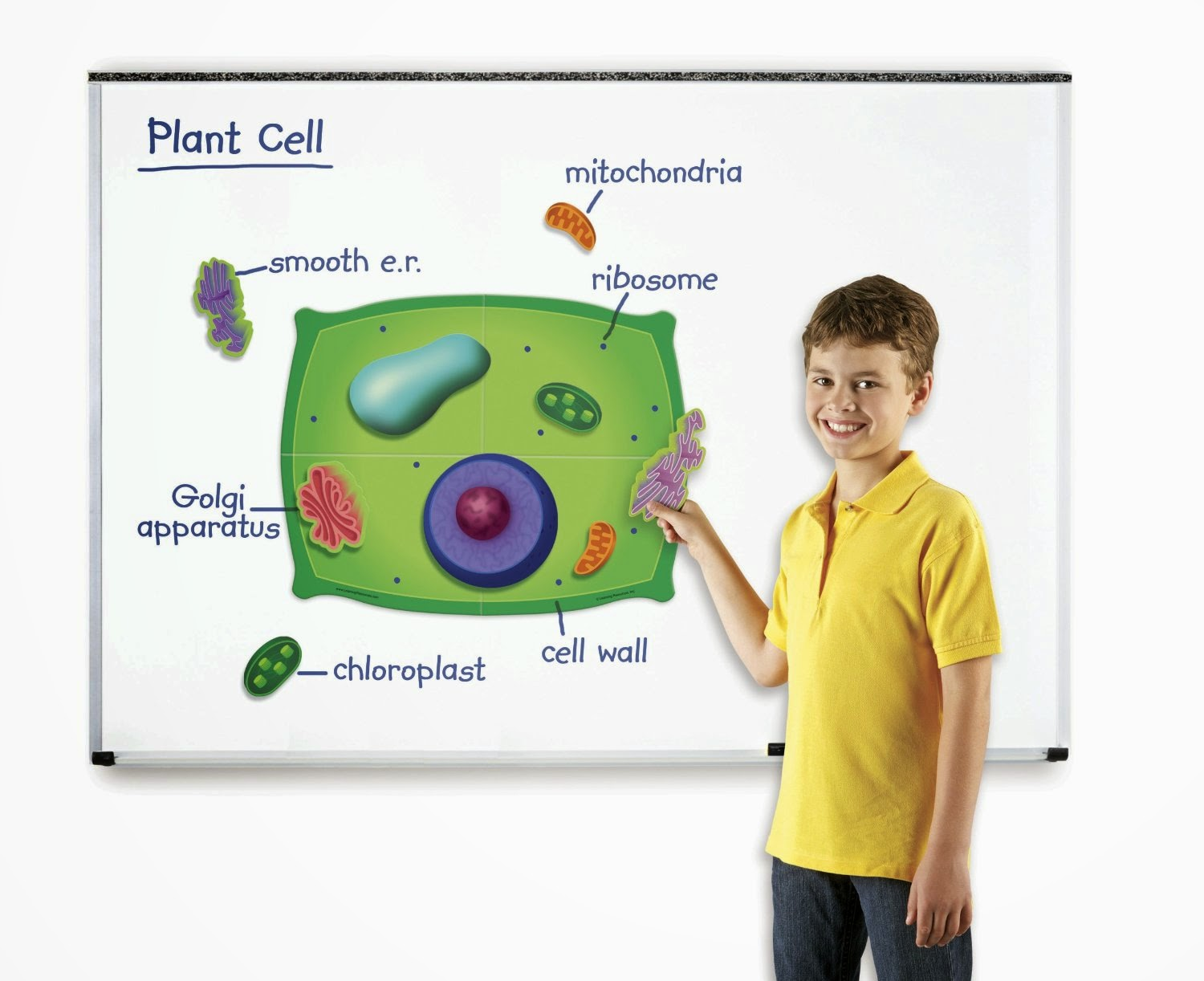 Fifth Grade Plant Cell Diagram Model Wire Diagrams 3d 7th Images Pictures Becuo For 5th