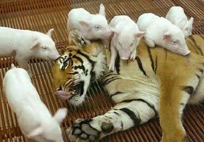 tigresa e porquinhos