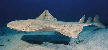 sand devil shark  Hewan Yang Mendapat Predikat