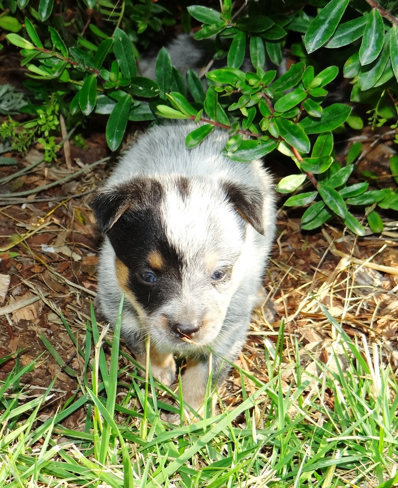Queensland Heeler Puppies Northern California