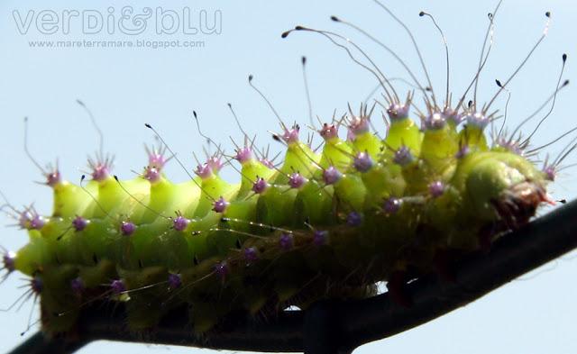 bruco Pavonia minore (Saturnia pavoniella)
