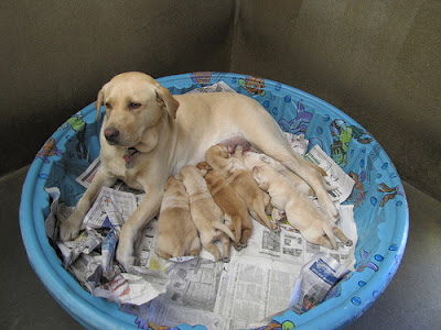A yellow Lab breeder dog with her litter of pups