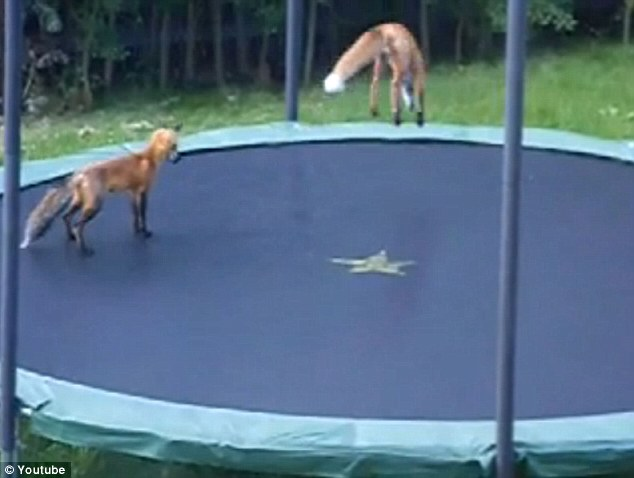One Of The Fox Cubs Leaps Into The Air On A Trampoline In A Garden In  Colorado, U.S., As His Sibling Watches On