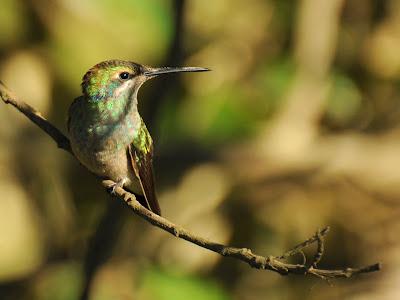 Beautiful Hummingbird Wallpaper