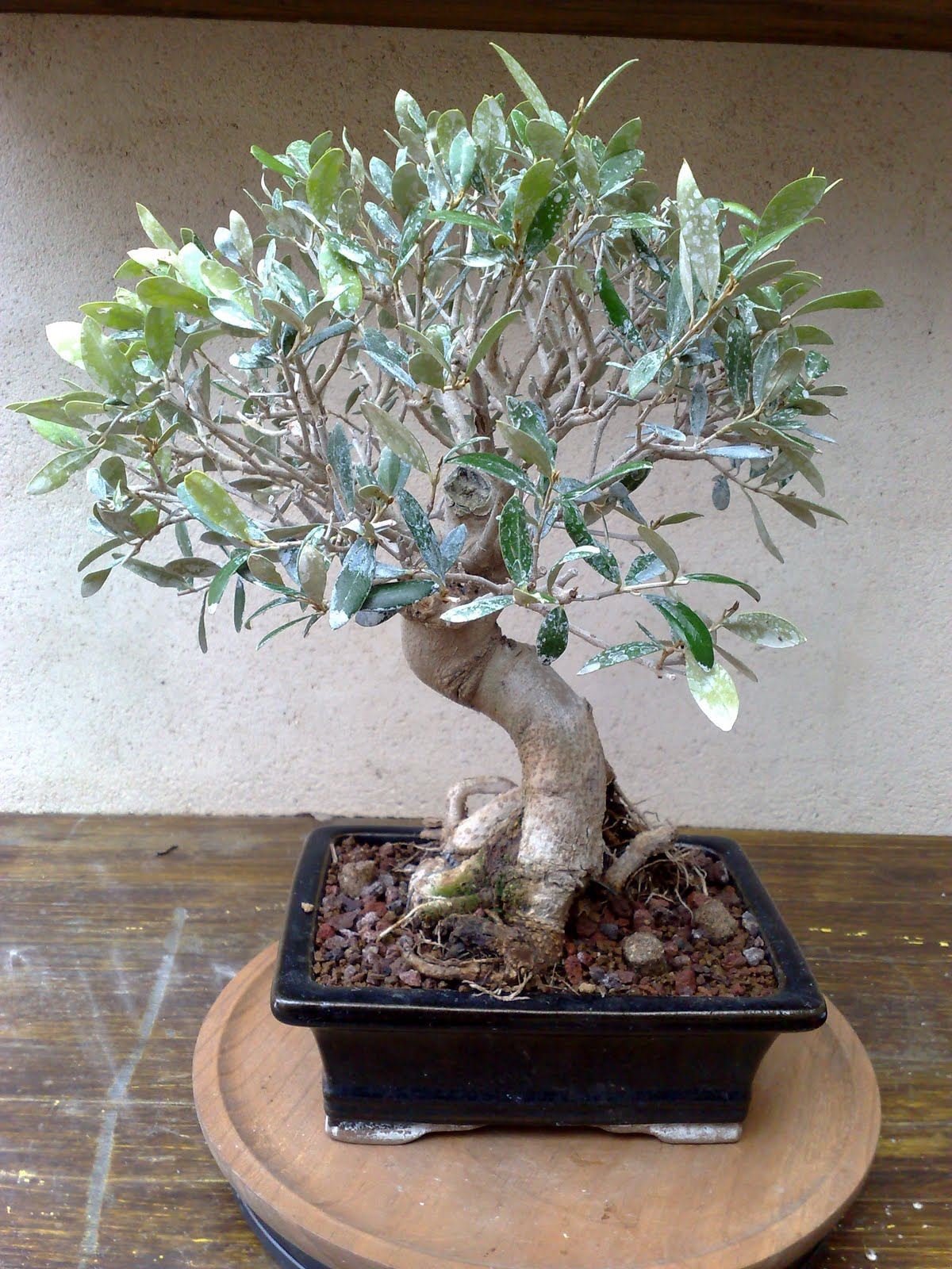 Bonsai olivo for Tipi di bonsai