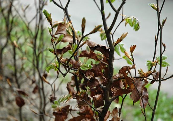 Små, gröna blad tittar fram på en bokhäck.