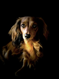 10 Interesting Facts about Dachshund