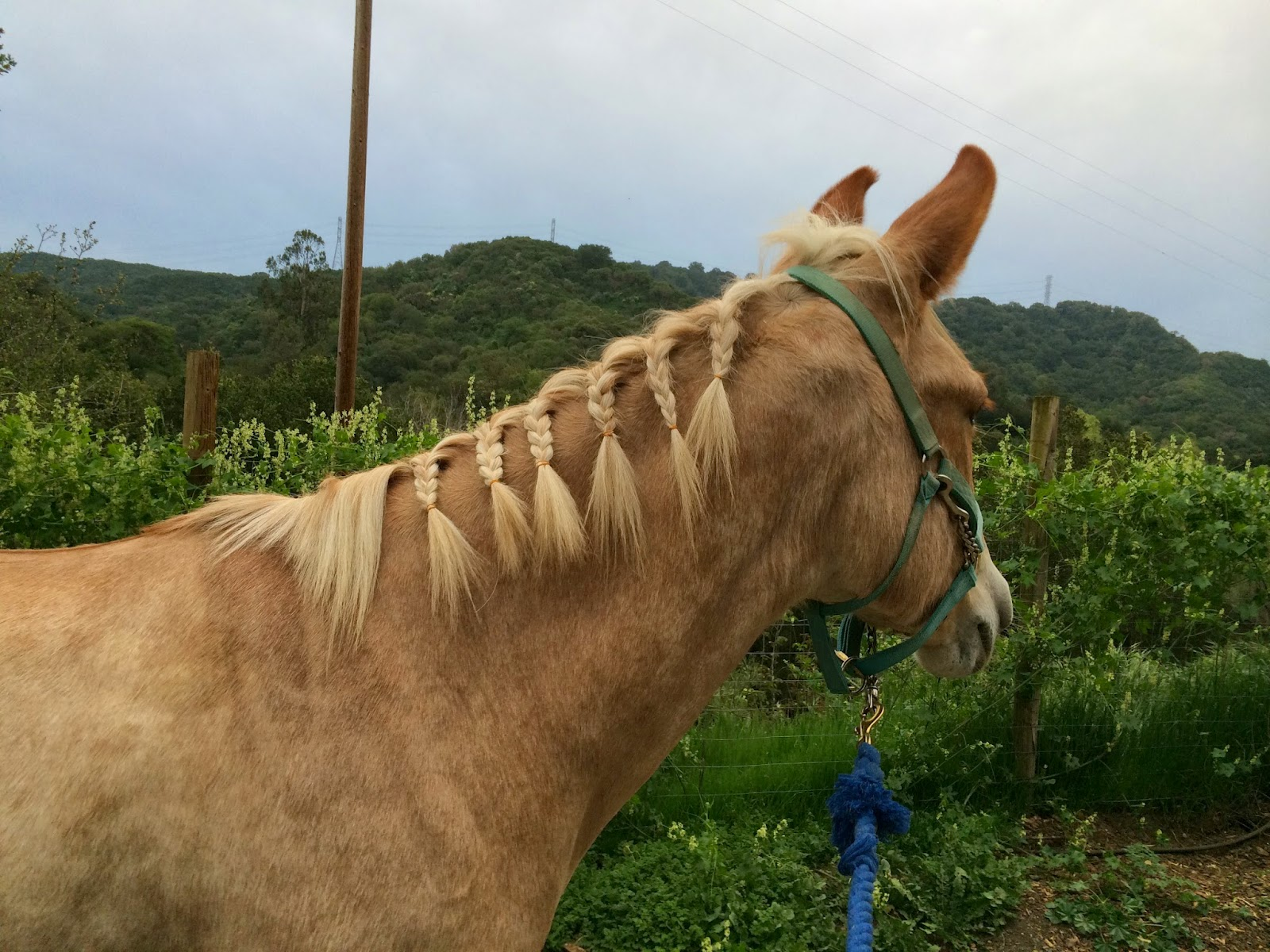 mule training braids horse