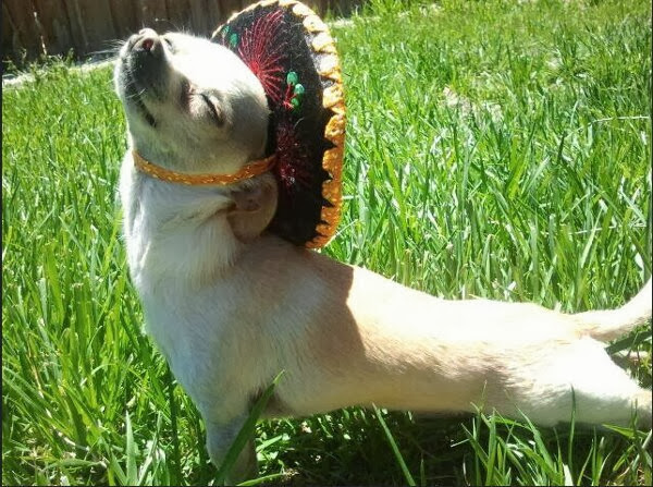 adorable dog pictures, puppy wears sombrero hat