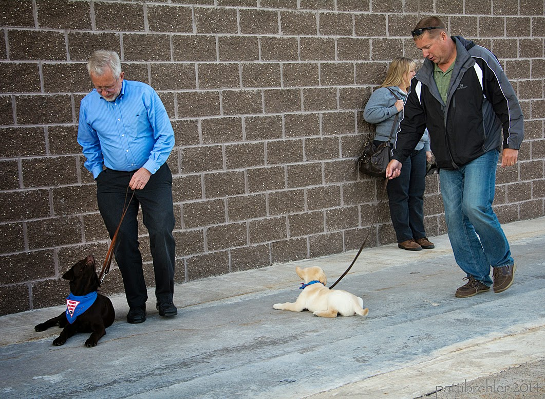 Two men are walking around puppies that are lying on a cement sidewalk. The man on the left is wearing dark blue pants and a light blue long sleeved shirt. He has the puppy's leash in his left hand and is looking down at the puppy while reaching into his pocket with his right hand. The puppy at his feet is a small chocolate lab wearing the blue Future Leader Dog bandana. The man on the right is wearing blue jeans and a black and grey jackeet. He is looking down at a small yellow lab/golden retriever mix puppy and holding the leash in his right hand. The puppy is lying on the cmeent, facing the brick wall which is behind the men. In the background behind the man on the right is a woman wearing blue jeans, a grey sweatshirt and holding a big purce. She is leaning agains tthe brick wall.