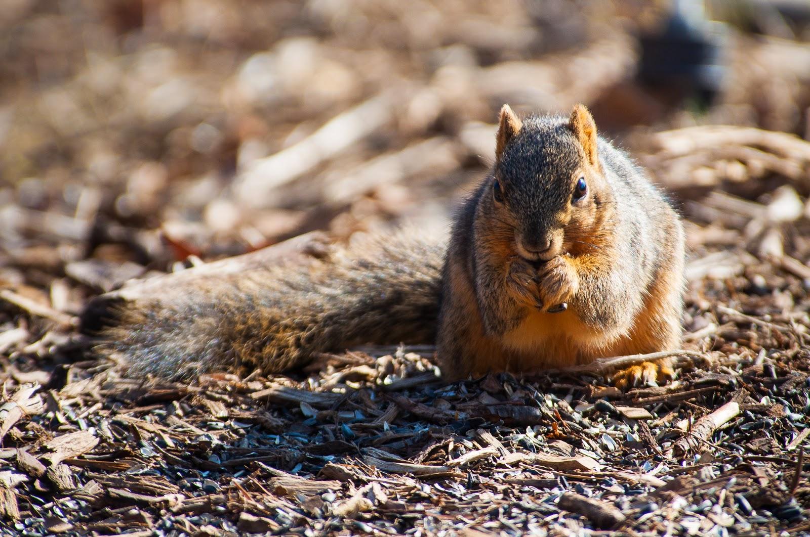 Red Squirrel, Bob Jones Nature Center