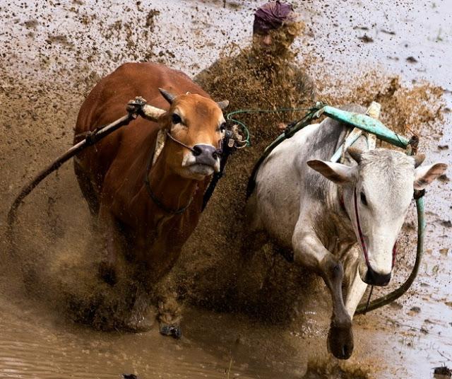سباق الثيران