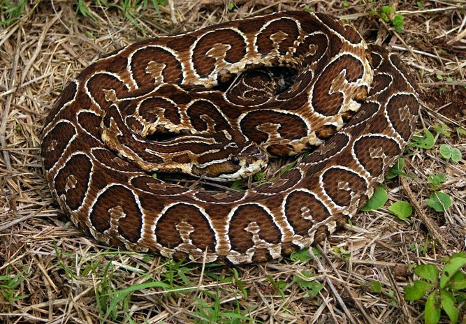 09 as well Rhinocerophis Alternatus Venenosa Urutu likewise Facts About The Carpet Viper Saw Scaled Viper besides Cobra Cobras together with Scene Clean Carpet  Upholstery Cleaning  The Rotovac 360 Carpet Cleaning Machine A 653. on ocellated carpet viper