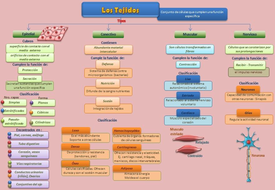 Los Tejidos | Esquemas, diagramas, gráficos y mapas conceptuales.