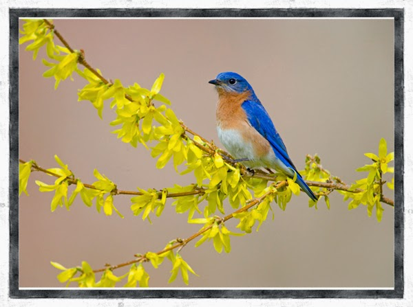 bluebird in forsythia