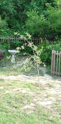 apple tree in Vicky's backyard