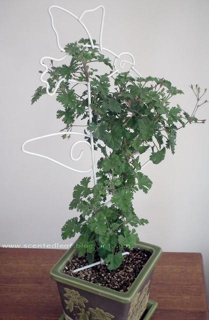 Ardwick Cinnamon Scented Pelargonium