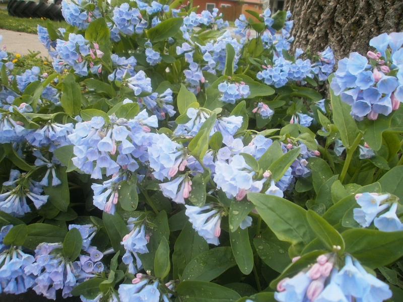 Plants are the Strangest People Pretty pictures Mertensia virginica