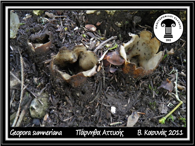 Geopora sumneriana (Cooke) M. Torre
