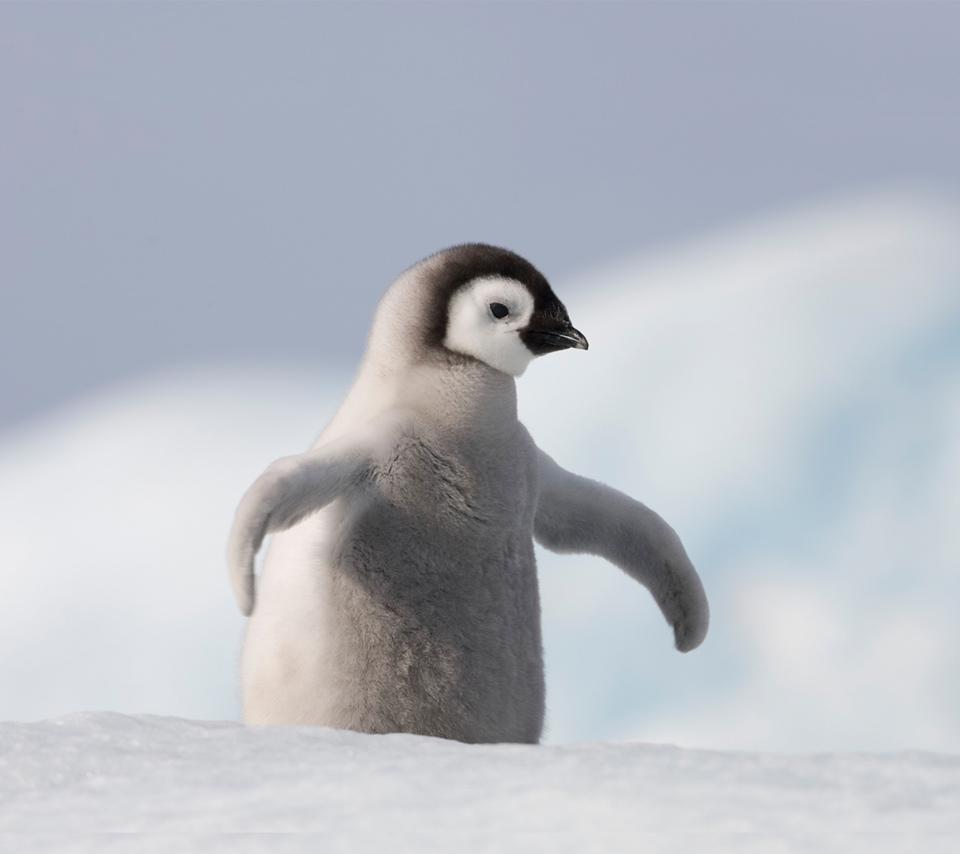 Cute baby emperor penguin - photo#8