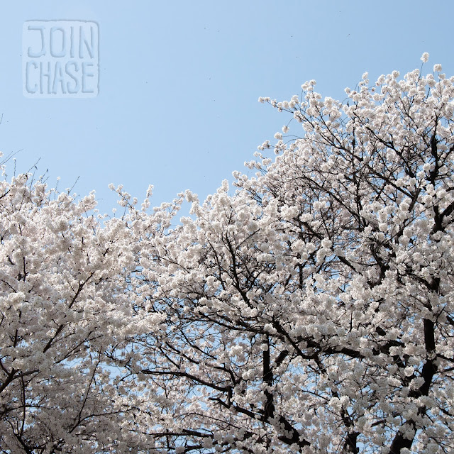 Cherry blossoms along the river in Cheongju, South Korea.