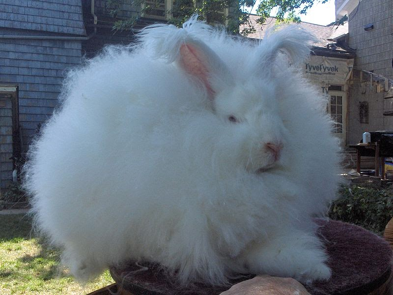 Image of a Male giant angora rabbit