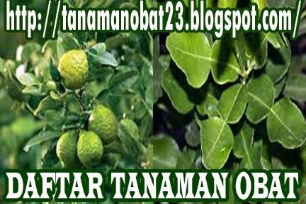 Tanaman Obat Jeruk Purut (Citrus hystrix D.C.)