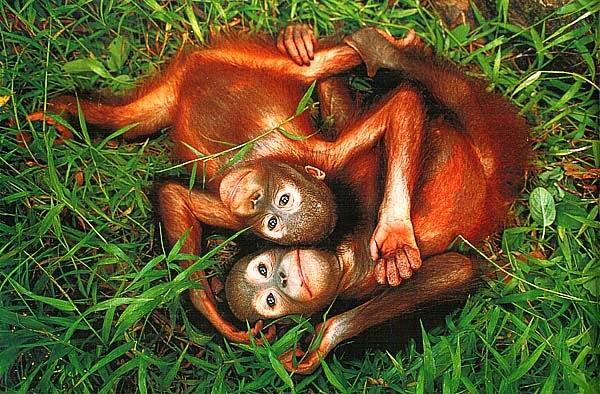 Сироты орангутаны. Саба, Борнео