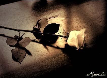 bông hồng tinh khiết