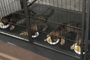 Four German Shepherd pups tucking into their food.