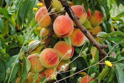 http://4.bp.blogspot.com/-WvP2bbE4ndo/Tgj3fEbyqHI/AAAAAAAAAVg/toZowHwDqj0/s1600/014+Peaches.jpg