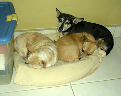 Honduran chihuahuas