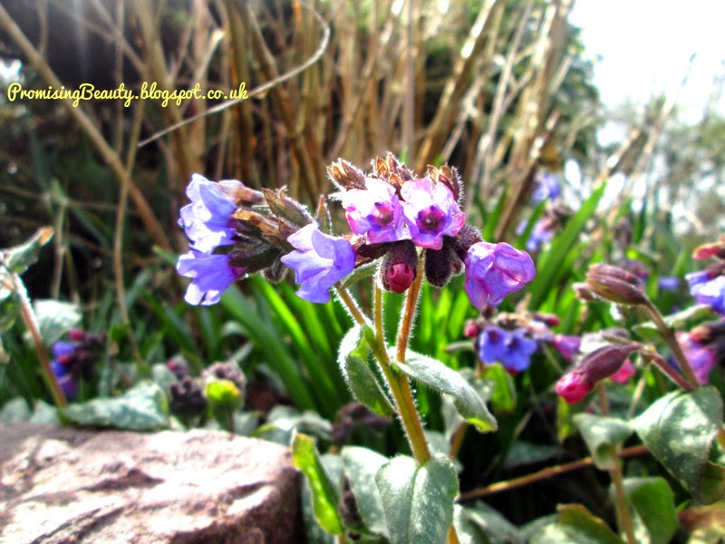 Small purple and pink flowers just opening their petals and buds. Spring flowers in British garden