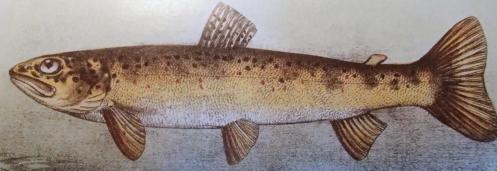 Fario, (Dictionnaire des Pêches...)
