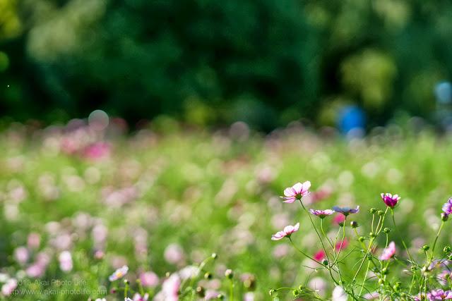 昭和記念公園、みんなの原っぱ西花畑のコスモス