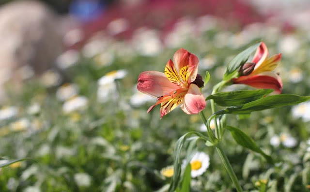 Peruvian Lily Flowers Pictures