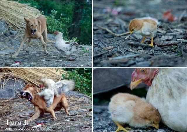 دجاجة دافعت لديها لتحمي صغيرها