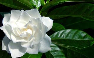 Il giardino sfumato matrimonio bianco lilla - Gardenia pianta da giardino ...