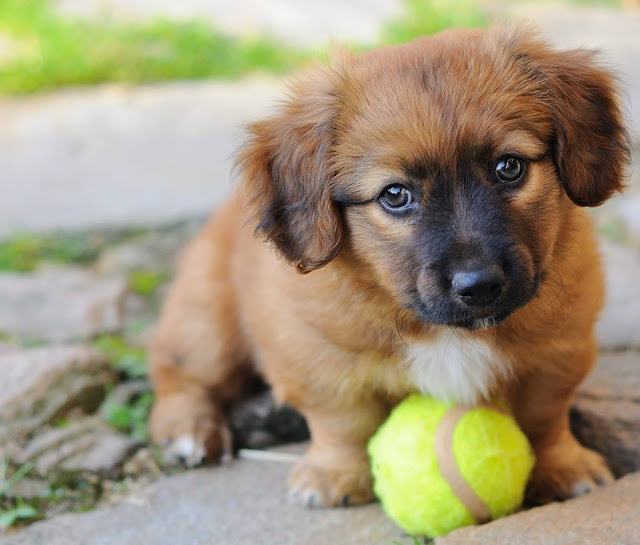 Small brown puppy playing with a ball