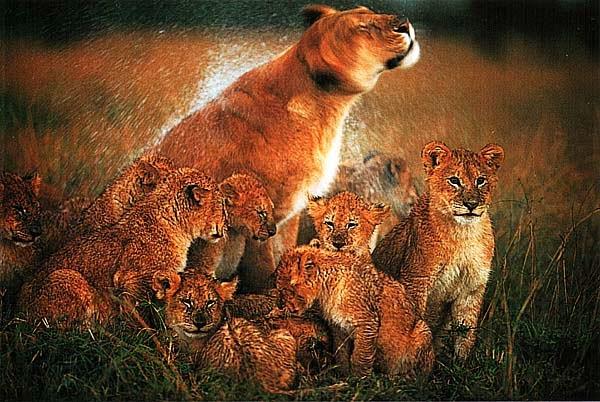 Львица, трясущая головой