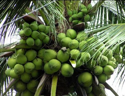 Thuyết minh về cây dừa