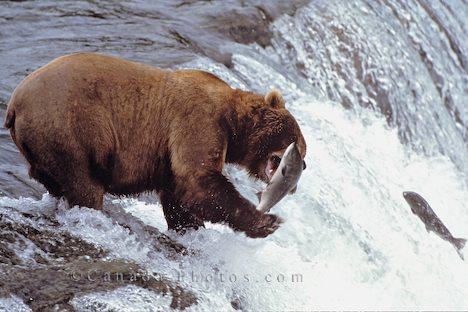 Bears Salmon Fishing in Alaska