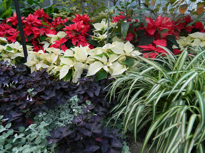red white poinsettias purple oxalis and spider plants at allan gardens christmas flower show 2012 by garden muses: a toronto gardening blog